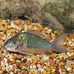 Corydoras Catfish For Sale: Cory Cats in Many Varieties