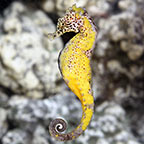Colored Seahorse - Captive-Bred