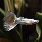 Silver Streak Flamingo Guppy (Pair)