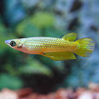 Golden Wonder Killifish, Captive-Bred