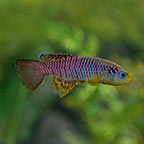 Red Striped Killifish