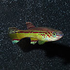 Amiet's Lyretail Killifish