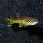 Amiet's Lyretail Killifish