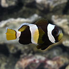 Latezonatus Clownfish