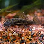Bushy Nose Plecostomus