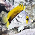 Declivis Butterflyfish