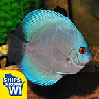 Discus fish for sale tropical discus and freshwater for Live discus fish for sale