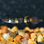 Clown Killifish, Captive-Bred