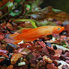 Golden Lyretail Panchax Killifish