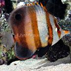 Mulleri Butterflyfish