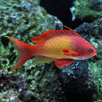Indian Ocean Lyretail Anthias