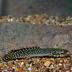 Ornate Bichir, Captive-Bred