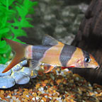 Loaches: Kuhli and Clown Loaches and other Loach Fish for Sale