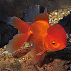 Oranda Goldfish, Assorted