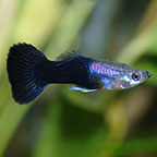 Black Phantom Delta Guppy