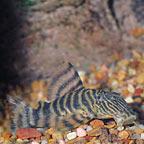 Tiger (L-02) Plecostomus