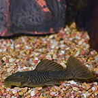 Rubber (L-56) Plecostomus