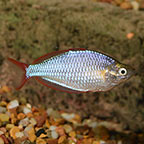 Rainbowfish Freshwater Fish