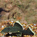 Mango (L-47) Plecostomus
