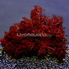 Red Gracilaria Feeding Algae - Aquacultured