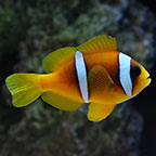 Two Banded Clownfish, Captive-Bred