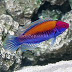 Orange-Back Fairy Wrasse