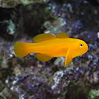Clown Goby, Yellow