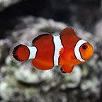Blood Orange Clownfish, Captive-Bred ORA®