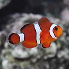 ORA® Captive-Bred Blood Orange Clownfish
