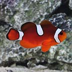 Misbar Blood Orange Clownfish, Captive-Bred ORA®