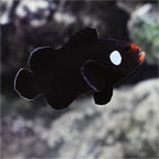 Domino Clownfish, Captive-Bred