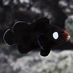 Domino Clownfish, Captive-Bred ORA®