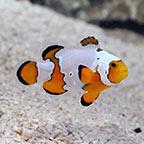 Snowflake Clownfish, Captive-Bred ORA®