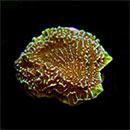 Confusa Montipora Coral, Aquacultured ORA®