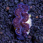 ORA® Aquacultured First Grade Colored Maxima Clam