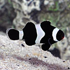 Black & White Ocellaris Clownfish, Captive-Bred ORA®