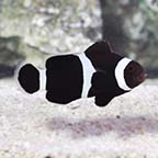 Black & White Ocellaris, Captive-Bred ORA®