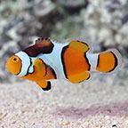 Percula Clownfish, Captive-Bred ORA®