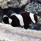 Black Saddleback Clownfish, Captive-Bred ORA®