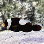 Saddleback Clownfish, Captive-Bred ORA®
