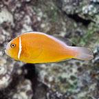 Pink Skunk Clownfish, Captive-Bred ORA®