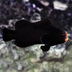 Midnight Clownfish, Captive-Bred ORA&reg