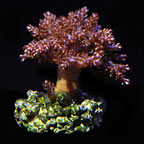 Kenya Tree Coral, Aquacultured ORA®