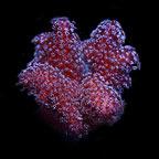 Pink Stylophora Coral, Aquacultured ORA®