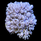 Soft Coral 5 Pack, Aquacultured ORA®