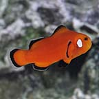 Naked with Dots Ocellaris Clownfish, Captive-Bred ORA®