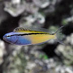 Blackine Blenny - Captive-Bred
