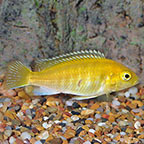 African Cichlids for Sale: African Cichlid Fish Species