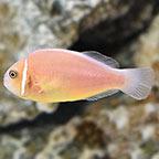 Pink Skunk Clownfish, Captive-Bred