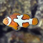 Picasso Percula Clownfish, Captive-Bred